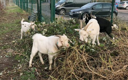 Photo of goats grazing near the Hunts Ground Road park & ride site behind Parkway Station.