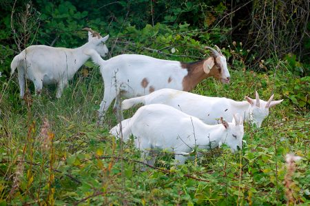 Photo of goats grazing on brambles at Parkway Park & Ride.