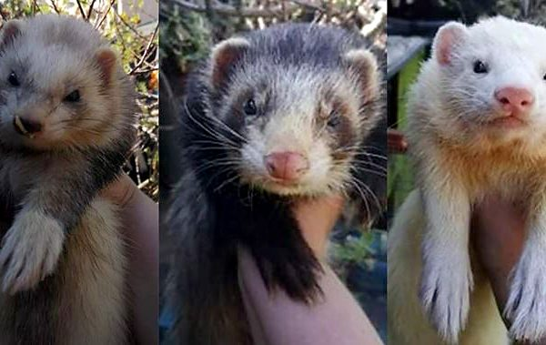 Photo of three ferrets.