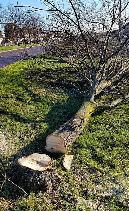 Photo of a felled tree.